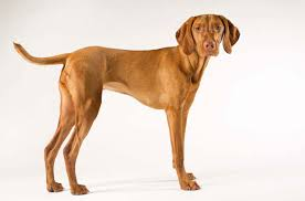 Vizsla Dog Breed Shedding by Vizsla