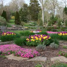 tips for planting tulips in tennessee acer landscape services