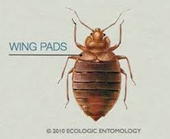 Do Bed Bugs Fly Simple Answer Revealed The Bug Squad