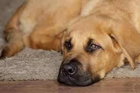 Do Bullmastiffs Shed A Lot by Puppy Bullmastiff X Akita Dog Photo Null Dogs Of Mixed And