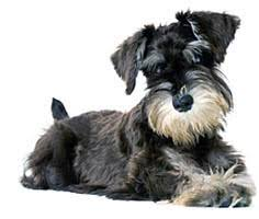 Do Giant Schnauzer Dogs Shed Hair by Hypoallergenic Dogs