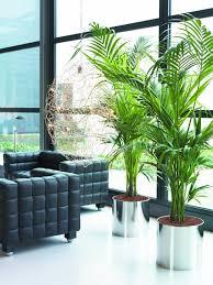 kentia palme exotisch und populär pflanzen und blumen