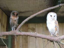 Barn Owls | Scotowlblog Barn Owl Tyto Alba Onyx On The Left Is A British Male Flickr Fimale 3 6942373687jpg Wikimedia Commons Ruffled Feathers November 2014 Mysterious Wise Barn Owl In Shadows Nocturnal Hunter World Bird Sanctuary January 2013 Owls Ghosts And Noises Night The Trust Lone Pine Koala Owlline Owllinelovers Twitter Audubon Field Guide A Brief Introduction To Common Types Of Barney California Raptor Center Connecticuts Beardsley Zoo