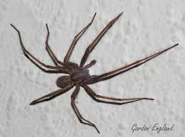 101 Best Spiders Images On Pinterest | Spiders, Southern And The ... Spiders At Spiderzrule The Best Site In World About Spiders Barn Funnel Weaver Spider North American Insects Bug Eric Thinlegged Wolf Genus Pardosa Grass How To Tell If A Spider Is Not Brown Recluse Spiderbytes