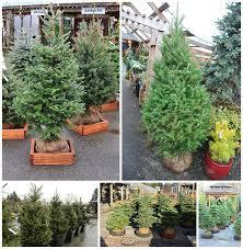 Fraser Christmas Tree Care by Live Christmas Trees Arts Nursery Ltd