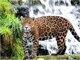 Facts About Jaguar Interesting & Amazing Information Jaguars