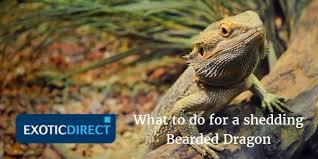 Bearded Dragon Shedding Help by Bearded Dragon Shedding Exoticdirect