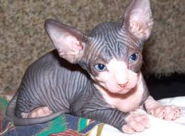 hairless cat price sphynx kittens classified by mikepavic sphynx kittens