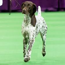 German Shorthaired Pointer Shedding by Westminster Dog Show Winner Is German Shorthaired Pointer Cj
