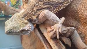 swollen limbs during shedding bearded dragon org