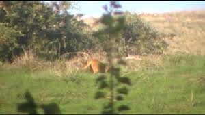 Mountain Lion In My Backyard - YouTube My Backyard Garden Nation Of Islam Ministry Agriculture Super Groovy Delicious Bite Big Lizard In My Back Yard Erosion Under Soil Backyard Ask An Expert I Think Found Magic Mushrooms Wot Do This Video Is Hella Clickbait Youtube Dinosaur Storyboard By 100142802 Holes In The Best Home Design Ideas Cottage Months Ive Been Creating More Garden Rooms Cat Frances Aggarwal Backyards Terrific Rocks And Minerals Tree Growing Started Fruiting Can Someone Id