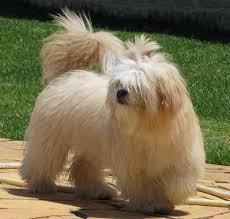 My Lhasa Apso Is Shedding Hair by Lhasa Apso Lhassa Terrier Dog Breed Guide Information And Pictures