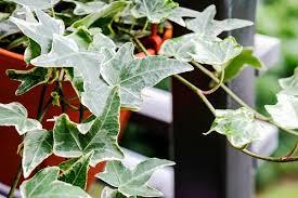 kletterpflanzen für zimmer 11 indoor lieblinge