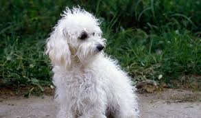 Top Dogs That Dont Shed Hair by 16 Top Dogs That Dont Shed Desktop Hd Pics Of Small Dogs