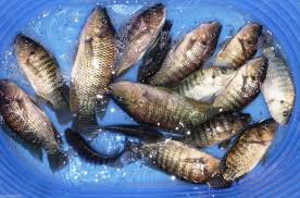 25 Lot Broodstock Blue Live Tilapia Fish For Aquaponics Algae