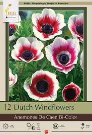 windflowers anemone coronaria bi color from netherland bulb