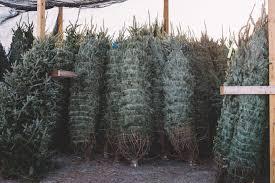 Leyland Cypress Christmas Tree Farm by Christmas Trees In Leland Patrick Tucker From Mahogany Rock Tree