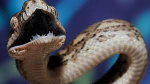 Coastal Carpet Python Facts by Carpet Python Teeth Thesecretconsul Com
