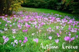 fall blooming bulbs bulbs fall blooming crocus bulbs hviezda club