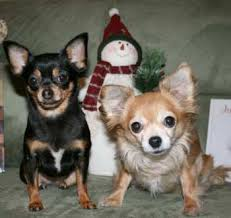 Do Long Haired Chiweenies Shed by Chihuahua Heat Cycle Female Owner Information