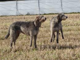 Irish Wolfhound Non Shedding by 100 Best 25 Wolfhound Ideas On Pinterest Irish Wolfhound
