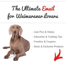 Vizsla Dog Breed Shedding by How Bad Do Weimaraners Shed Advice From Real Weimaraner Owners