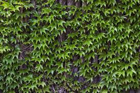 Wild Ivy Wine Wall