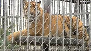 Tiger Living At Louisiana Truck Stop Euthanized After Health...