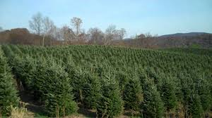 Fraser Fir Christmas Trees Nc by Furches Fraser Fir Christmas Trees 6 Youtube