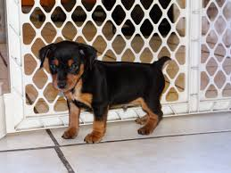 Miniature Pinscher Puppies For Sale Va, Craigslist Dogs For Sale ... Craigslist Mobile Alabama Cars And Trucks All New Car Release Date Used Food Carts Fayetteville Nc For Sale By Owner Deals Tuscaloosa Al Trucksbirmingham Heavy Biloxi Ms And Vans For By 2019 20 Price Birmingham Searching Homes Bloomington In Oscargilabertecom Ambulancetradercom Ambulance Sales Ambulances Ems Inspirational Best Alabama Awesome Rhenthillcom Used Lifted Chevy Trucks Sale On