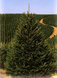 Frasier Christmas Tree Cutting by Fraser Fir Christmas Trees Powers Tree Farm