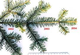 Types Of Christmas Trees With Pictures by Evergreen Wikipedia