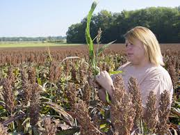 Christmas Tree Aphids by Msu Sorghum Research Focuses On Aphid Control Mississippi State