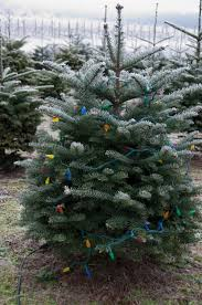 Leyland Cypress Christmas Tree by Windy Hill Acres