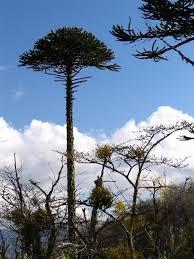 Christmas Tree Saplings Ireland by Araucaria Araucana Wikipedia
