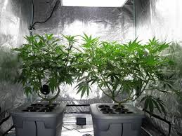 Best Pot Plant For Bathroom by How To Increase Thc When Growing Weed Grow Weed Easy