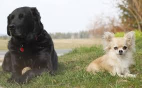 Non Shedding Dog Breeds Big by 100 Large Low Shedding Dogs Maltipoo Designer Dog Breed