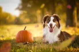 Too Much Pumpkin For Dogs Diarrhea by Pumpkin For Dogs Can Dogs Eat Pumpkin Dogtime