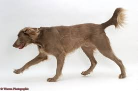 Do Long Haired Weimaraners Shed by Long Haired Weimaraner Dog Breeds With Odd Colors U0026 Coats