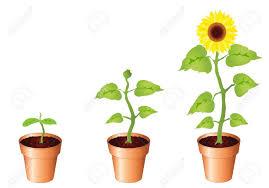 illustration de tournesol par des é de la croissance des