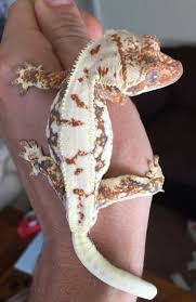 Halloween Harlequin Crested Gecko For Sale by 179 Best Crested Geckos Images On Pinterest Crested Gecko