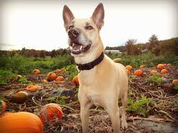 Pumpkin Patch Western Massachusetts by New England Fall Events Your Guide To Pet Friendly Apple Orchards