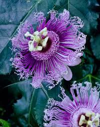 66 best passiflora images on Pinterest