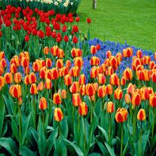 bulk fall planted flower bulbs