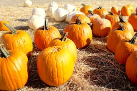 Norms Pumpkin Patch 2015 by Your October City Guide Uber Newsroom