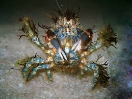 decorator crabs eat fish 251 best crabs images on crabs and