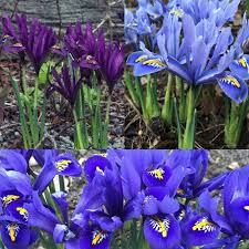 buy iris bulbs delivery by waitrose garden in association with crocus