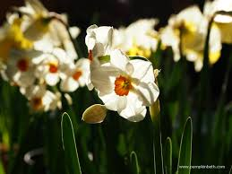 places to buy daffodils pumpkin beth