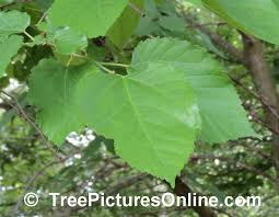 Mulberry Tree Pictures Images Photos Of Trees