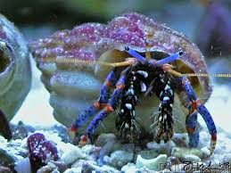 Do Hermit Crabs Shed Legs by 22 Best Hermit Crabs Images On Pinterest Hermit Crabs Ocean